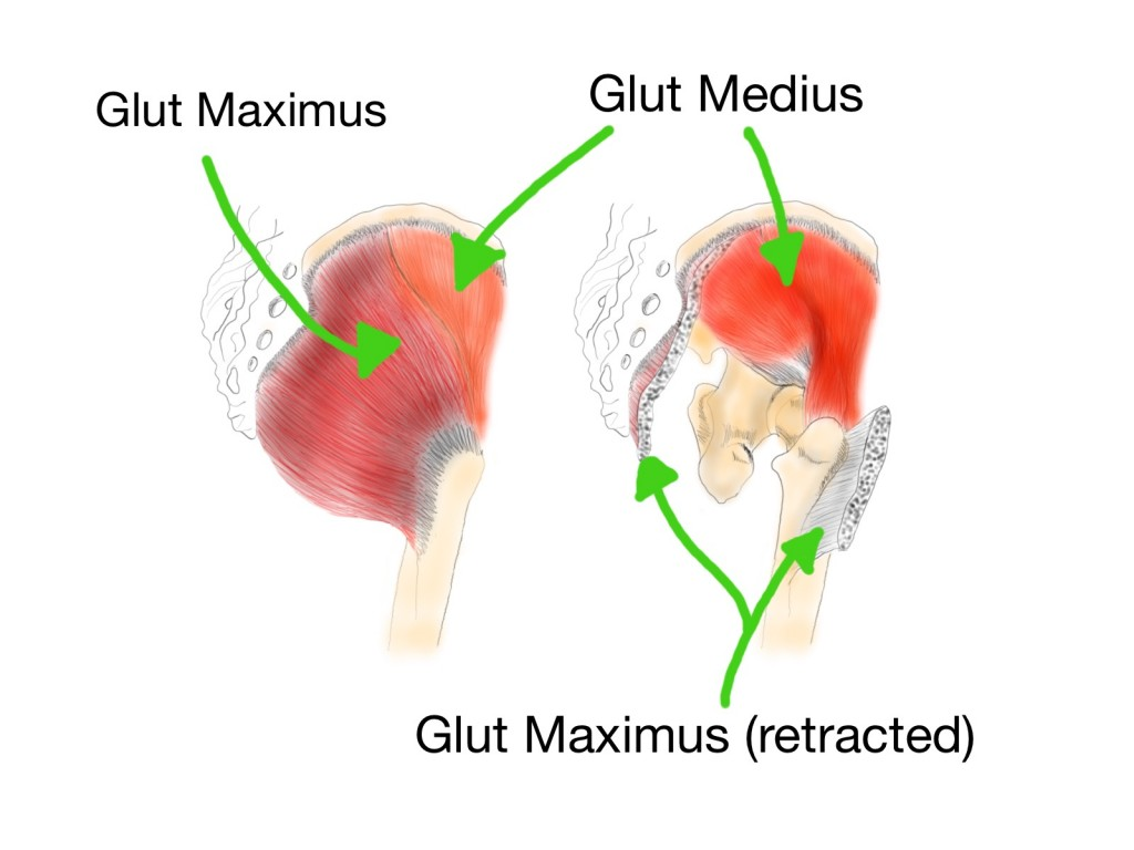 The Gluteus maximus and medius muscles